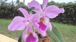 orquideas_cattleya.jpg