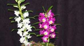 orquideas_dendrobium01.jpg