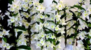 orquideas_dendrobium02.jpg